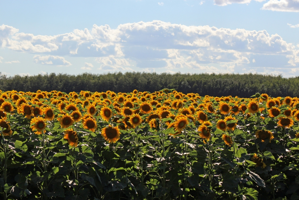 A Community of Sunflowers